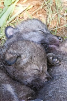 Timber Wolf Pups -
