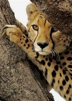 Finest photo of cheetahs #creatures #earth