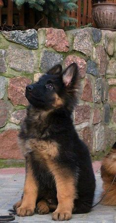 For dog people everywhere. This German Shephard pup is adorable.