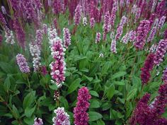 Persicaria affinis 'Donald Lowndes