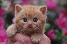 British Shorthair Kitten | Cattery Projoinbo | The Netherlands