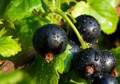 Чем подкормить черную смородину для обильного урожая | Дачные секреты от Виктории Радзевской | Яндекс Дзен