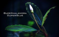 Bucephalandra super blue