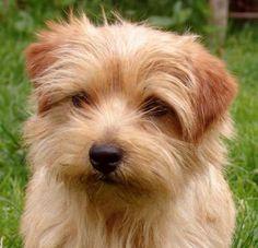 Cute!! Norfolk Terrier.
