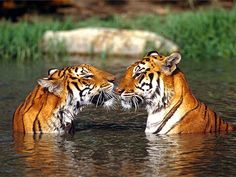 Tigers eskimo kissing. #Tigers #NoseToNose #LoveYourNose