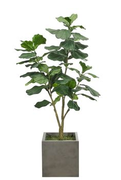 Fiddleleaf Fiddleleaf, Shown in Container Option L, Cube Concrete Finish, Craftsman Home Interiors, Rustic Home Interiors, Plantas Indoor, Cheap Plants, Traditional Interior, Plant Illustration, Luxury Decor, Plant Decor, Houseplants