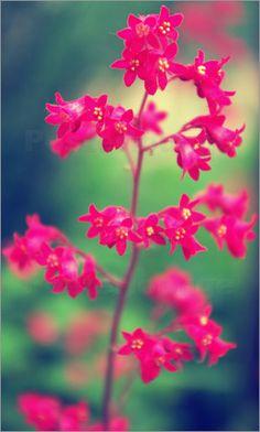 rosa Blumen Poster von Tanja Riedel