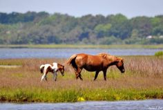 Nice shot of Assateague's newest foal -- born on Memorial Day -- with its mom on the bayside. Photo by Donna L. Epstein-Cole