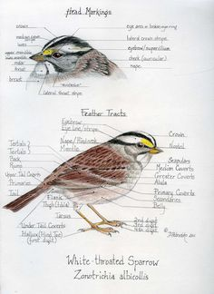 Sketches of White Throated Sparrow  from a Drawing Birds Class at Yale by Dorie Petrochko.