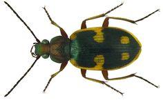 Chlaenius scapularis