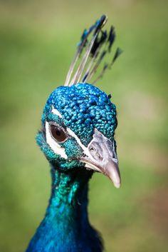Peacock by Henrik Laursen