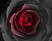 black red rose