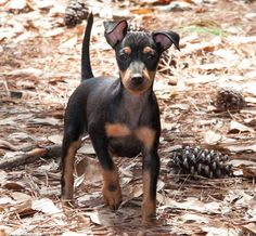Saint Lazar Toy Manchester Terriers  Puppy toy Manchester terrier, way too cute