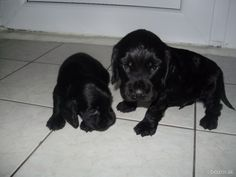 Predá krásne šteniatka psíkov plemena Anglický Kokeršpaniel.Na odber sú 2 psíkovia,jeden je čiernej farby a druhí je farby bielozlatej.Odber je možný ihneď.