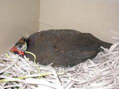 Guineafowl - Helmeted Birds, Bird
