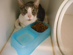 Adopt Sykes, a lovely 3 years Cat available for adoption at Petango.com.  Sykes…
