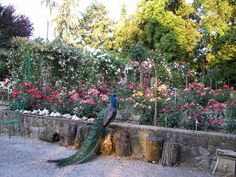 The Cavriglia rose garden in Italy is the largest privately owned rose collection containing over 7,000 species.