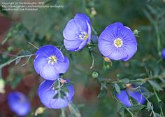 Bloom for April 1, 2013: Lewis' Blue Flax (Linum lewisii) photo by GardenGuyKin