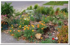 Driveway succulent bed aglow with California poppies