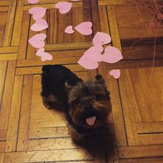 I woof you! Found at: https://instagram.com/simon_yorkie/   Found at: https://itsayorkielife.com/i-woof-you/  #Yorkies,#YorkshireTerriers,#Yorkielove,#ItsaYorkieLife