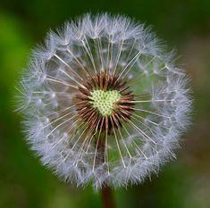 Heart of a Dandelion - Photograph at BetterPhoto.com