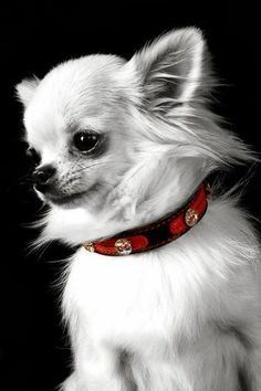 Effective Potty Training Chihuahua Consistency Is Key Ideas. Brilliant Potty Training Chihuahua Consistency Is Key Ideas. Teacup Chihuahua, Chihuahua Love, Chihuahua Puppies, Cute Puppies, Cute Dogs, Dogs And Puppies, Chihuahuas, Doggies, Black Chihuahua