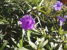 Andando com Formigas: Ruélia Azul
