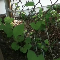 Growing morning glories and moon flowers to brighten up an old chain link fence without destroying it with trumpet vine...