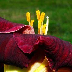 Burgundy Daylily