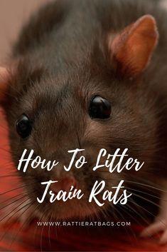 How to litter train rats - www. Informations About How To Litter Train Rats - Rattie Pet Rat Cages, Rat Cage Diy, Diy Rat Toys, Pet Toys, Rat Cage Accessories, Rat Care, Rat Boy, Dumbo Rat, Cute Rats