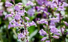 10 best plants for the modern cottage garden - Penstemon - Bell-shaped flowers brighten up any border and bloom in late summer, when other plants start to fade.