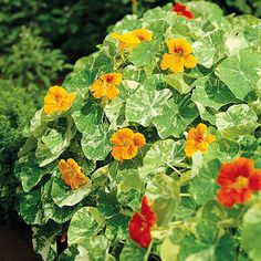 Nasturtium offers tidy mounds of foliage and cheery blooms in shades of yellow, orange, red, and crimson. Starting Tips: Nasturtium seeds have a tough coat. Soak the seeds in water for 12 to 24 hours before sowing or file away or nick off a small piece of the seed coat before planting. Sow seed 1/2 inch deep; they usually sprout in about a week.