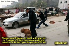 Sick, sick, sick, horrific people they are for sure!Animal cruelty in China exposed as dogs killed in street by laughing mob including police Cane Corso, Sphynx, Chinchilla, Pitbull, Stop Animal Cruelty, Dog Show, Animal Welfare, Animal Rights, My Heart Is Breaking