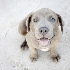 pitbull lab mix grey ? either way super cute