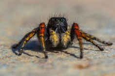 Red and black jumping spider by CreativeNature_nl. Male jumping spider (Philaeus Lesbos), an endemic species to lesvos island, Greece