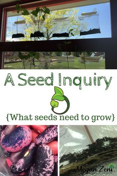 Seeds are a fascinating lens through which a huge amount of curriculum can be explored. A seed inquiry provides an entry to complex understandings and a bridge to meaningful learning in the outdoor classroom. Early Learning Activities, Steam Activities, Play Based Learning, Classroom Activities, Outdoor Education, Outdoor Learning, Early Education, Preschool Science, Teaching Science