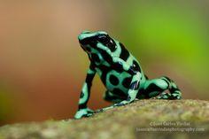Black-and-green Poison Dart-frog by Juan Carlos Vindas, via 500px