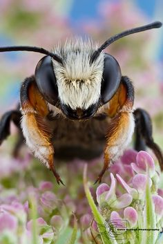 Leafcutter Bee by Colin Hutton Photography --- simply amazing! Nature is never boring. I can sit in a patch of grass for ages studying and enjoying. Photo Animaliere, Bee Photo, Buzzy Bee, I Love Bees, Bees And Wasps, Fotografia Macro, Beautiful Bugs, Amazing Nature, Beautiful Pictures