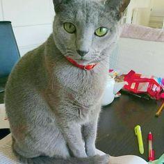Dawa always disturb our work😢  冬休み中のシモベその①(夫です)が持ち帰り仕事を家でやろうとすると、『ボクに注目して~💨』ダワがどんどん近づいて来ます。資料読めないよ😱  #猫 #かわいい #青猫 #ロシアンブルー #グレー猫 #パリ猫 #ねこ #愛猫 #にゃんこ #にゃんすたぐらむ #ネコ #neko  #cat #catstagram #gatto #chat #cute #adorable #graycat #bluecat #russianblue #bluerusse #pariscat #liveinparis