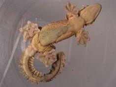 Kuhl's Flying Gecko (Ptychozoon kuhli) underside (male)