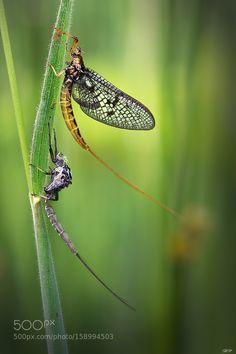 Ephemeroptera by bopatje.
