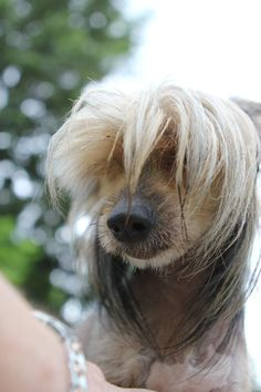 163 Best Chinese Crested Images On Pinterest In 2018