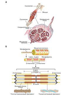 Структура скелетных мышц
