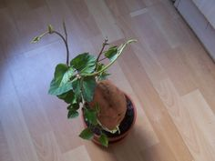 if you have a sunny location to offer, the sweet potato is an attractive houseplant . Planting Potatoes, Gardening, Propagation, Growing Plants, Beautiful Gardens, Indoor Plants, House Plants, Sweet Potato, Planter Pots