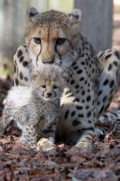 Big Cats, Cool Cats, Cats And Kittens, Beautiful Cats, Animals Beautiful, Cute Baby Animals, Animals And Pets, Photo Animaliere, Mundo Animal
