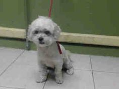 SAFE --- #A4802733 I'm an approximately 2 year old neutered male, white Bichon Frise mix I am not yet neutered. I have been at the Carson Animal Care Center since February 22, 2015. I will be available on February 27, 2015. You can visit me at my temporary home at C246.   Carson Shelter, Gardena, California. https://www.facebook.com/171850219654287/photos/pb.171850219654287.-2207520000.1424778161./374844899354817/?type=3&theater