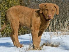 Hoss the Chesapeake Bay Retriever Pictures 1037086