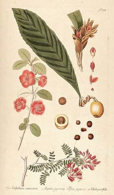 Quince, Japanese