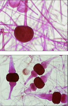 DOMAIN: Eukarya..........  KINGDOM: Fungi .......... PHYLUM: Zygomycota ..........  GENUS: RHIZOPUS STOLONIFER (top=asexual sporangiospores on a sporangium; bottom=sexual zygospores in a zygosporangium) .......... -decomposer