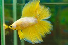 Platinum yellow gold doubletail